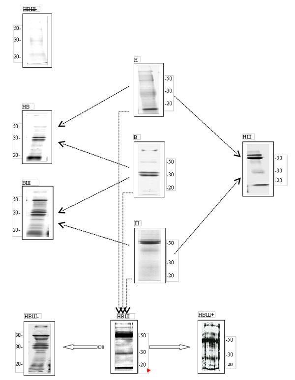 Рис. 1. Схема предполагаемой связи между активностью регулирующих слюнные железы вегетативных нервных центров и белковым составом смешанной слюны